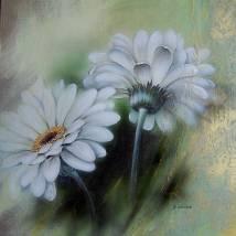 weiße Gerberas Bild